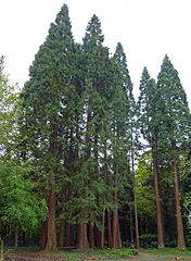 redwood trees strong together